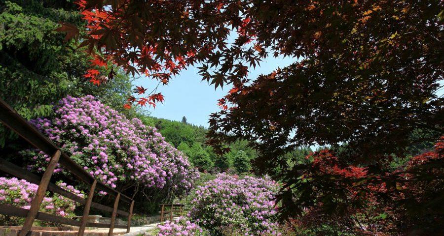 Oasi Zegna, Rododendri In Fiore - © oasizegna.com