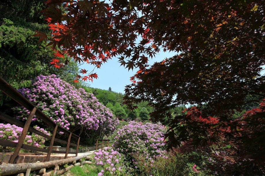 Rododendri in fiore  una passeggiata in un oasi di colori e profumi 44d832becc9
